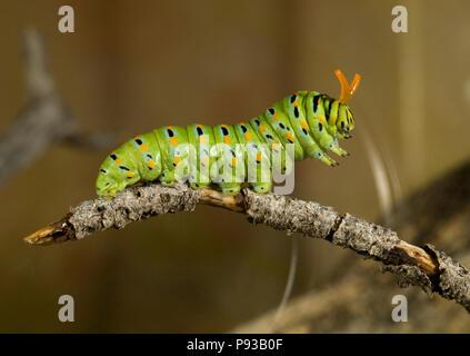 Un primer plano de la oruga o larva de una especie de anís, mariposas Papilio zelicaon, antes de pupa. Los cuernos son de color amarillo, utilizado osmeteria fo