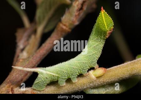 Un eyed hawkmoth caterpillar, Smerinthus ocellata, criados a partir de huevos y fotografiados en un estudio. North Dorset, Inglaterra GB