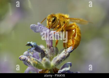 De cerca una abeja de miel, Apis, sobre una planta de lavanda, Lavándula spica.
