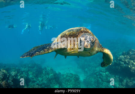 Encuentro de tortugas verdes en Black Rock, Ka'anapali, Maui, Hawaii.