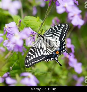 Frenesí de alimentación - especie asiática butterfly está ocupada alimentando después de las tormentas en la isla XiaoYangshan