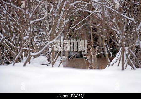 En el corzo (Capreolus capreolus) nieve, macho y hembra, Francia