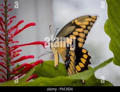 Acercamiento de Papilio crespbontes Swallowtai gigante ( ) mariposa sobre flor roja