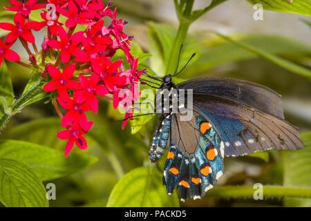 Primer plano de una especie de mariposa oriental también llamada la especie o especie americana en una flor roja