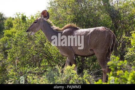 Una mujer mayor antílope Kudu (Tragelaphus strepsiceros) comer o alimentándose en el Parque Nacional de Elefantes Addo salvaje en Sudáfrica
