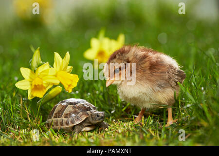 Welsummer pollo. El pollo y el joven Spur-thighed tortuga mediterránea, la tortuga griega (Testudo graeca) en la pradera de floración en primavera. Alemania
