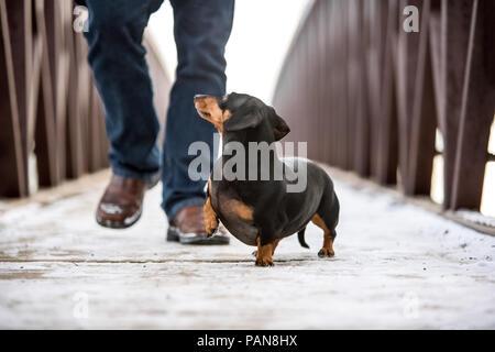Teckel caminar junto al hombre en el puente sin collar
