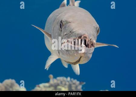 Gran barracuda, Sphyraena barracuda, puede alcanzar tanto como seis pies de largo. Los copépodos parásitos pueden ser vistos en el extremo de la mandíbula superior. Hawaii.