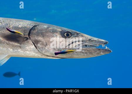 Gran barracuda, Sphyraena barracuda, puede alcanzar tanto como seis pies de largo. Este individuo está siendo limpiado por endémica limpiador hawaiano de napoleón, La
