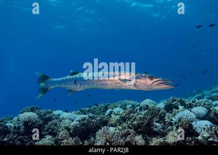 Gran barracuda, Sphyraena barracuda, puede alcanzar tanto como seis pies de largo. Hawaii.