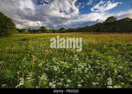 El Wildflower campo con common sorrel (Rumex acetosa) y Pignut flores (Conopodium majus) Hampstead Heath, Londres, Inglaterra, Reino Unido. En mayo del 2015.