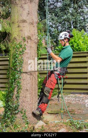Tree Surgeon caucásica escaladas con el equipo de escalada de abeto
