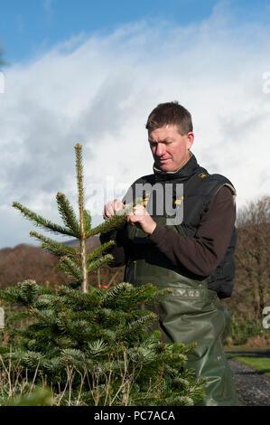Los árboles de navidad en la granja de cultivo