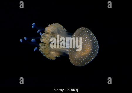 White-spotted medusas, Gepunktete Wurzelmundqualle, Phyllorhiza punctata