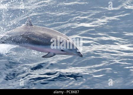 Cerca de un delfín Fraser saltando fuera del agua