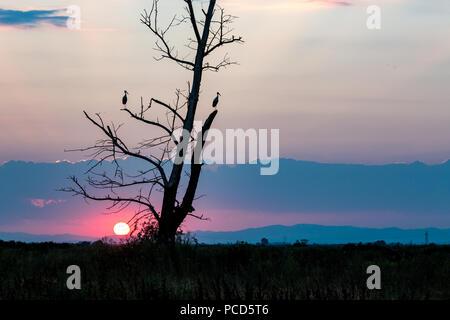 Dos siluetas, cigüeña blanca Ciconia ciconia, esperando el final del día quemaron álamo al atardecer, el Sol visible, el colorido paisaje de verano cerca de P