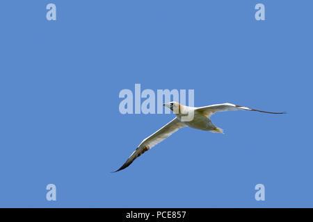 Norte de alcatraces (Morus bassanus) en vuelo contra el cielo azul Foto de stock