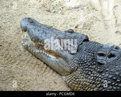 El cocodrilo de mar (Crocodylue porosus) en cautiverio. En el medio silvestre es un depredador apex y el más grande de todos los reptiles vivos.
