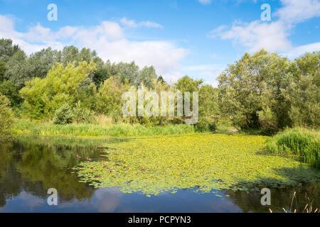 Un lago con wild amarillo lirios de agua (Nuphar lutea) en Tees Heritage Park, Stockton on Tees, Inglaterra, Reino Unido.