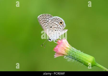 Este diminuto cola azul (Cupido) butterfly comyntas alimentándose de una flor rosa Foto de stock