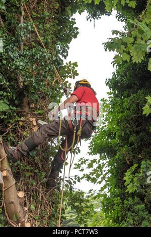 Tree Surgeon en un arnés asegura a sí mismo a un árbol