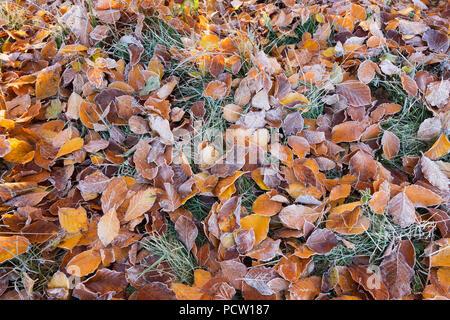 Beech hojas con escarcha sobre pradera, Icking, Alta Baviera, Baviera, Alemania