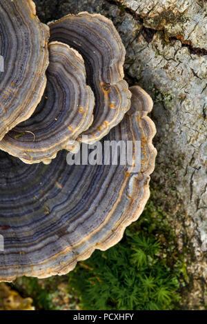 Turquía hongo Trametes versicolor Cola; Cornwall; UK