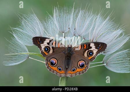 Buckeye común (mariposa Junonia coenia) en Cabra la barba las vainas (Aruncus dioicus)semillas, e EE.UU., por omitir Moody/Dembinsky Foto Assoc