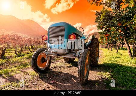 Imagen en el ocaso de un viejo tractor azul claro para cultivar los campos. Fotografiado entre plantas de cítricos y viñedos con las luces encendidas