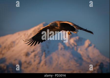 El águila de cola blanca (Haliaeetus albicilla), en vuelo, a la caza de peces, Å i Lofoten, Nordland, Noruega