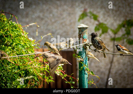 Jardín común pájaros, gorriones y estorninos en acción Foto de stock