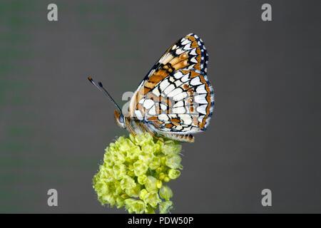 Retrato de un macho de Northern Checkerspot Butterfly, Chlosyne palla, fotografiado en un wildflower en la parte inferior del río Metolius en Oregon central Casc