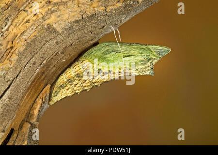 La crisálida de una especie de anís caterpillar, mariposas, silked Papil a una rama del árbol, en las montañas de la cascada de Oregon central.
