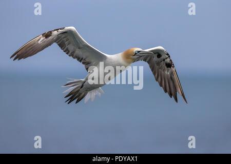 Flying Norte de Gannett; Sula bassana; Morus bassanus Foto de stock