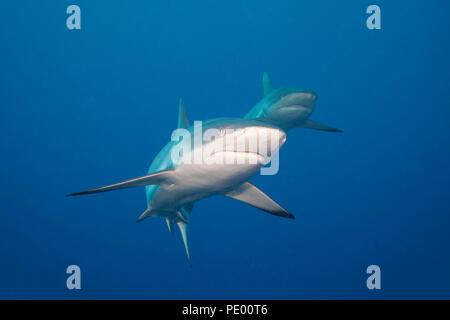 Un par de tiburones gris de arrecife, Carcharhinus amblyrhynchos, Yap, Micronesia.