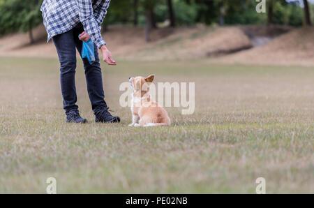 4 mes de edad Welsh Corgi Pembroke cachorro en un paseo con su dueño macho en la campiña, Oxfordshire, REINO UNIDO