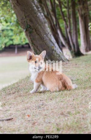 4 mes de edad Welsh Corgi Pembroke cachorro en un paseo por el campo, Oxfordshire, REINO UNIDO
