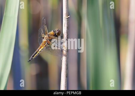 Cuatro Spotted Chaser dragonfly (Libellula quadrimaculata) encaramado sobre el tallo. Tipperary, Irlanda