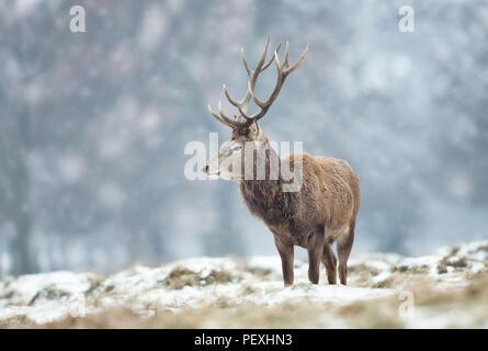 Cierre de un ciervo ciervo en el suelo cubierto con nieve durante el invierno en el Reino Unido . Foto de stock