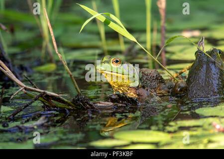 Rana toro (Lithobates catesbeianus americana) - Indian Point Trail - El Jardín de los dioses, Shawnee National Forest, Illinois, EE.UU.