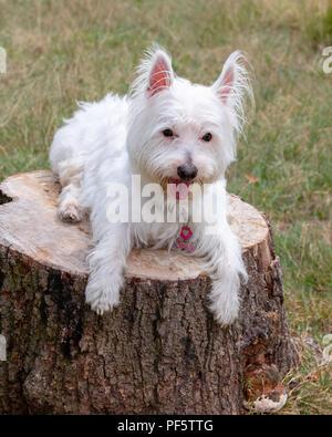 Lindo, amable, West Highland White Terrier, Westie, perro, sentado en el tocón de un árbol en el parque Foto de stock
