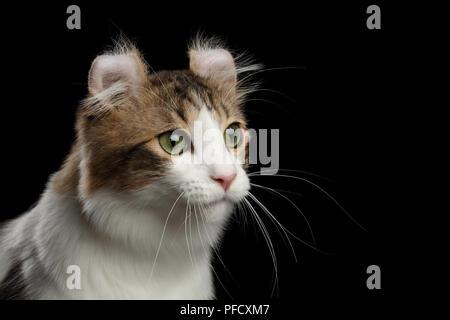 Closeup retrato de ojos verdes rizo americano raza de gato con orejas torcidas, delante del fondo aislado negro