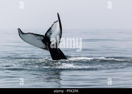 Un adulto de la ballena jorobada, Megaptera novaeangliae, bofetadas su enorme cola sobre la superficie del océano Atlántico norte fuera de Cape Cod, Massachusetts.