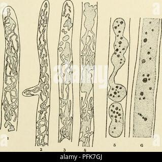 . El citoplasma de la célula vegetal. Células y tejidos vegetales; protoplasma. Capítulo XIV 155 - El sistema Vacuolar vacuolas esféricas, pero sólo para encontrarse en los comienzos del desarrollo de este tipo de sistema vacuolar. Entre los hongos, la Saprolegniaceae constituyen objetos particularmente favorable para el estudio del sistema vacuolar, a la que habremos de volver más tarde. Cuando el micelio de una especie de Sapro- legnia es examinado en una solución de rojo neutro, hay observada en el crecimiento de la planta de extremidades, vacuolas que en principio son generalmente pequeños elementos globulares. Estos alargados Foto de stock