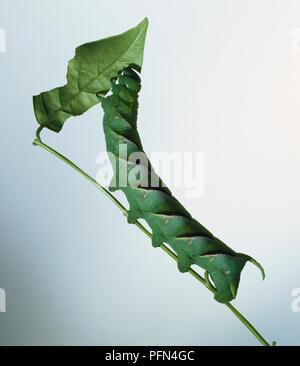 Caterpillar hawkmoth verde en un tallo comiendo hojas, vista lateral
