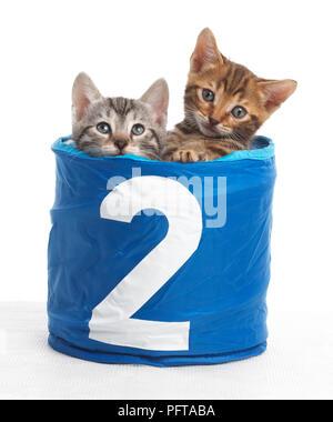 Gatitos en una cesta con el número 2 en la parte delantera, Bengala y British Shorthair cruz gatitos, 5 semanas de edad.
