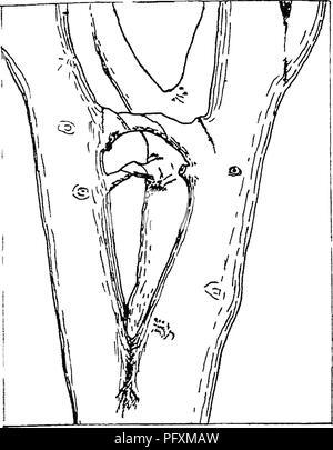 . La enciclopedia de la horticultura práctica; un sistema de referencia de la horticultura comercial, cubriendo las fases práctico y científico de la horticultura, con especial referencia a las frutas y verduras;. Jardinería; fruto de la cultura; la horticultura. Las manzanas 301. Fi£; 1 tornillos de madera Lne miembros juntos. Esto es mejor que cualquier sistema de sostén, porque no hace daño a la corteza de las ramas, como ocurre con la utilería, ya que el viento balancea las ramas y el roce de la corteza. Se apuesta- ter que el sistema de cableado, para cables sólo pueden fijarse a la extremidad por medio de envoltura alrededor de la rama, o