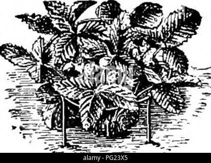 . Manual de jardinería : una guía práctica para la elaboración de motivos en casa y el cultivo de flores, frutas y verduras para uso doméstico . Jardinería. 446 MANUAL DE JARDINERÍA variedades de fresas crecerá en determinados suelos mejor que otras variedades. Lo que estas variedades son sólo puede determinarse mediante una prueba real, pero es una regla segura para elegir las variedades que sean buenos en muchas localidades. En cuanto a los métodos de la cultura, por lo que mucho depende del tamaño de la parcela, la finalidad para la que la fruta es deseado, y la medida de la atención que cada uno está dispuesto a dar, que ninguna regla establecida puede ser dado por un