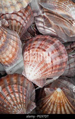 Lion's Paw Paw Leones / vieiras - colección de conchas de moluscos encontrados en Sunset Beach Carolina del Norte