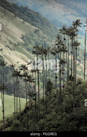 Cera de Quindío, Valle de Cocora palms en Salento, Quindio, Colombia